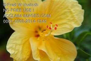 Stock Photo: Focus on the Stamen of a Yellow Hibiscus Flower