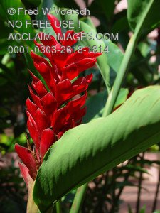 Stock Photo of a Red Ginger Flower