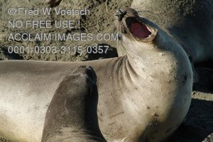 Stock Photo of an Angry Elephant Seal