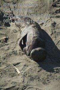 Stock Photo of an Elephant Seal Pup