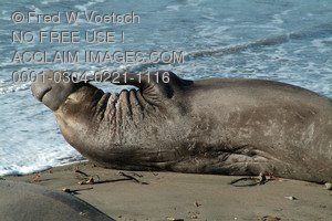 Stock Photo of a Male Elephant Seal