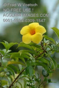 Stock Photo of Allamanda Flowers
