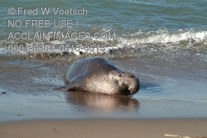 Stock Photo of an Elephant Seal