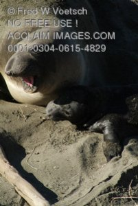 Stock Photo of an Elephant Seal and Her Pup