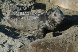 Stock Photo  of a Baby Elephant Seal Pup