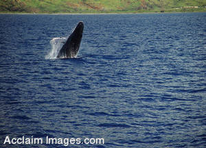 Stock Photo of a Breaching Whale