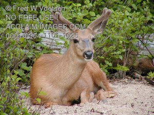 Stock Photo of a Deer