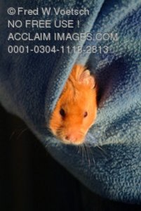 Stock Photo of a Hamster in a Pocket