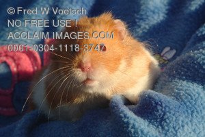 Stock Image of a Hamster