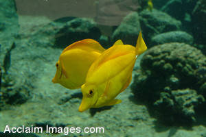 Stock Photo of Yellow Tang Fish