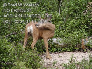 Stock Photo of a  Deer in The Woods