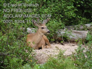 Stock Photo of a  Deer Resting in The Forest