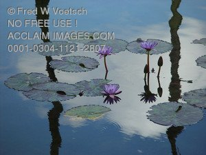 Stock Photo of Water Lilies in Lily Pond