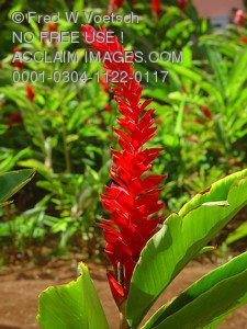 Stock Photo of a Red Ginger Plant