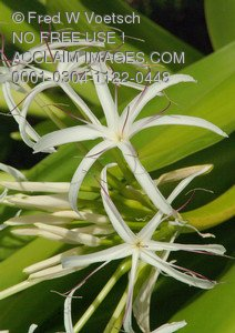 Stock Photo of White Spider Lilies