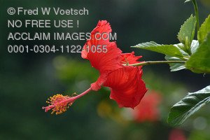 Stock Photo of a Red Hibiscus Flower