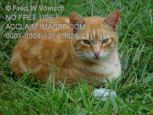 Stock Photo of an Orange Cat