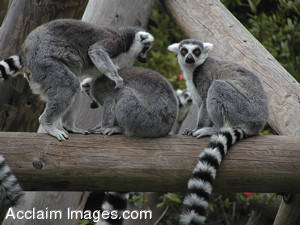 PIcture of Three Ring Tailed Lemurs