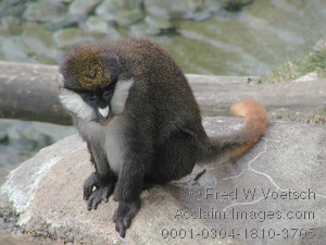 Stock Photo of a Schmidts Spot Nosed Guenon Monkey
