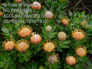 Stock Photo of Protea Flowers