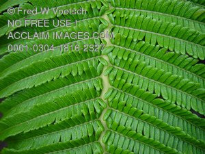 Stock Photo of a Fern