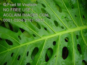 Stock Photo of a Tropical Plant Leaf