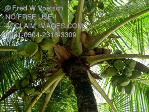 Stock Photo of a Coconut Tree