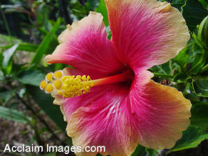 Hawaiian Flowers - Pictures, Photos, Photographs