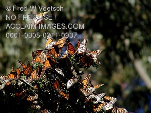 Stock Photo of Monarch Butterflies