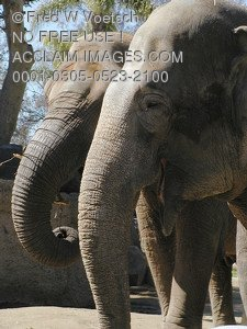 Stock Photo of Elephants