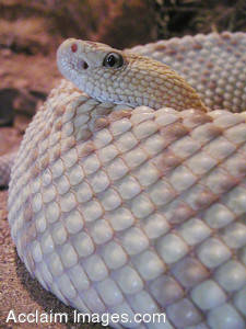 Stock Photo of a Neotropical Rattlesnake