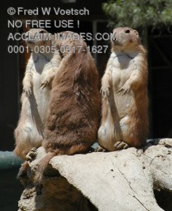 Stock Photo of Prairie Dogs