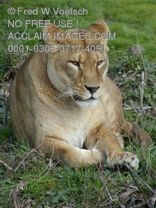 Stock Photo of a Lioness