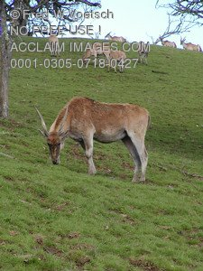 Stock Photo of Cape Eland Antelope