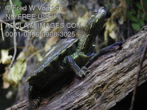 Stock Photo of a Turtle on a Log