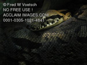 Stock Photo of a Malagasy Ground Boa Constrictor