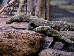 Stock Photo of Monitor Lizards