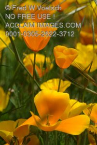 Stock Photo of California Poppies