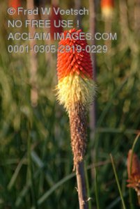 Stock Photo of Red Hot Poker Flowers