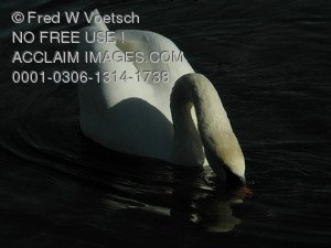 Stock Photo of a  Swan