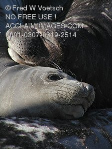 Stock Photo of Two Elephant Seals