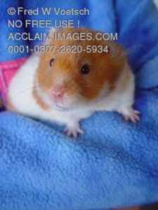 Stock Photo of a Hamster