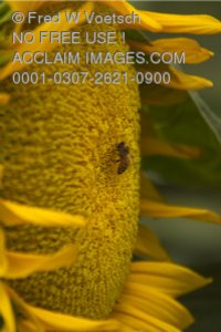 Stock Photo of a Honeybee on a Sunflower