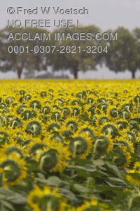Stock Photo of a Field of Sunflowers