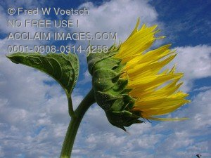 Stock Photo of Clouds and a Sunflower