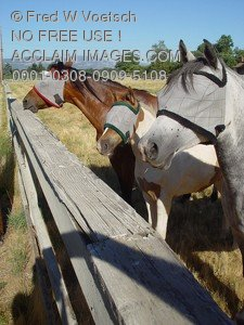 Stock Photo of Horses at a Fence