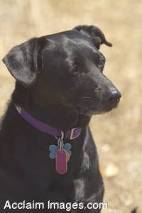 Stock Photo of a Black Lab, Terrier Mix Dog