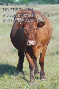 Stock Photo of a Bull