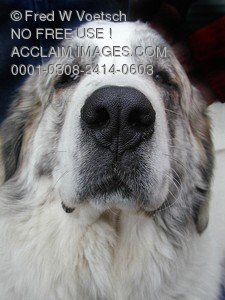 Stock Photo of a Tibetan Mastiff or Great Pyrenees Mastiff
