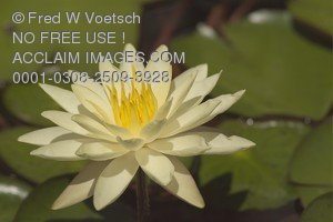 Photo Clip Art of a White Waterlily